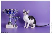 1-2 мая на Международной выставке Мяу-ревю 2010 Crystal Star Sweet-Rex&Tidgi на монопородном ринге корниш-рексов стал BEST KITTEN, BEST OF BREED