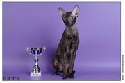 1-2 мая на Международной выставке Мяу-ревю 2010 Latif Jolly Rex of Sweet-Rex на монопородном ринге корниш-рексов стал BEST MALE, закрыл титул интерчемпиона