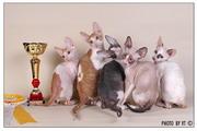 3-4 октября на Международной выставке Экспокот помет A...Sweet-Rex&Tidgi выиграл BEST LITTER оба дня и на монопородном ринге корниш-рексов стал лучшим пометом