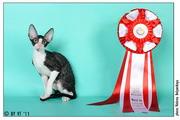 03-04 декабря на Международной выставке Содружество Гран-При Роял Канин Sweet-Rex Image стала BEST KITTEN SH первого дня и в Монопородном ринге 7 место в классе котят
