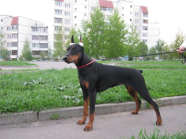 Доберман в Москве продажа цены фото  щенки Добермана